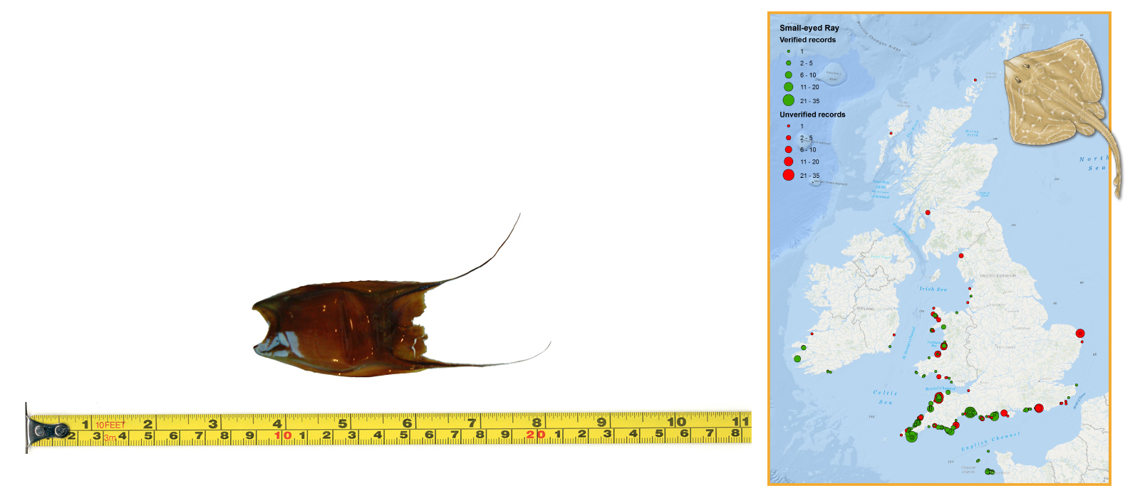 Small-eyed Ray Eggcase & Map