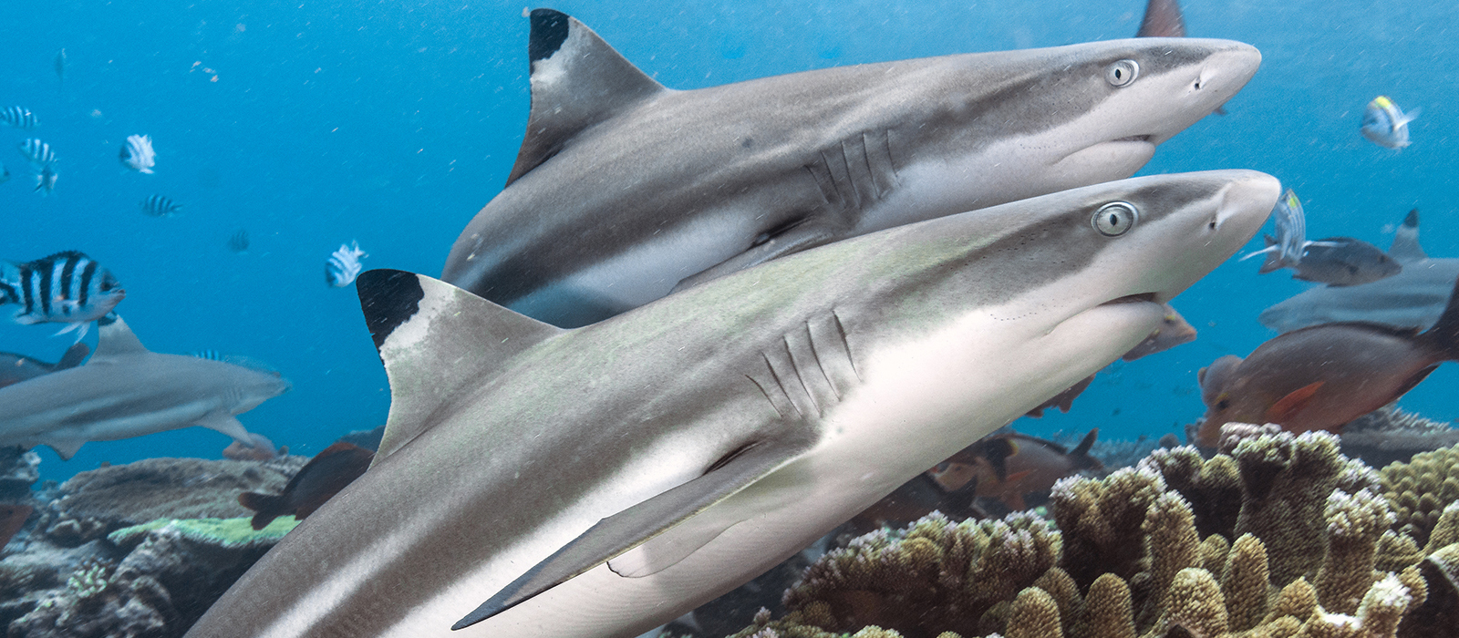 Blacktip Reef Sharks © Tom Vierus